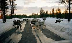 As you can see, salt attracts wildlife. These reindeer are licking the salt from anicy road.