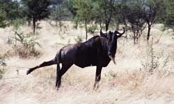 This poor wildebeest issnared. See more safari pictures.