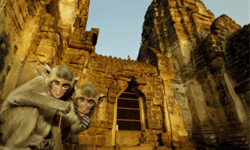 Monkeys sit in front of the Phra Prang Sam Yot temple in Thailand.
