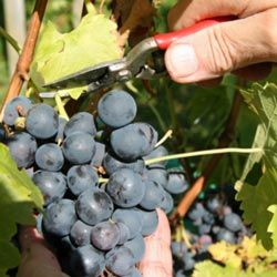 Pruning is essential to ensure that wine grapes reach their optimal size and flavor.