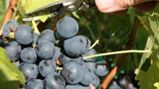 5 Wine Pruning Facts