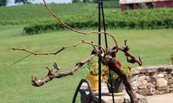 A preserved demonstration vine at Three Sisters Vineyard and Winery shows two long canes with several nodes and the shorter, one-node spurs.