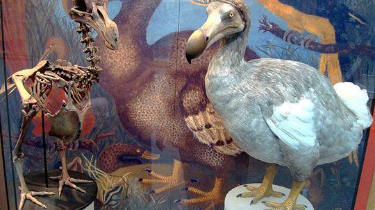 Could scientists resurrect the dodo bird?
