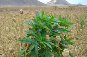 Al-Qaida and the Taliban used profits from Afghanistan's poppy harvests to finance their political and military aims.